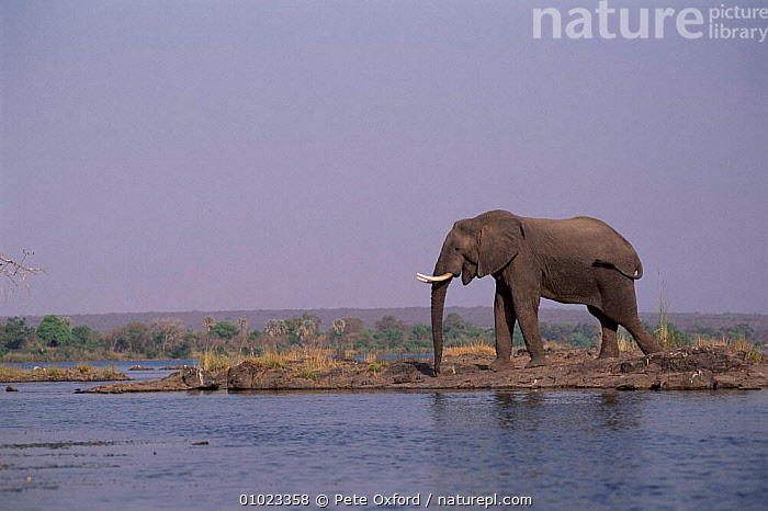African elephant by the Zambezi River, Zimbabwe. Africa., MAMMALS,SOUTHERN AFRICA,OUTSTANDING,WATER,RIVERS,ZIMBABWE,AFRICA,PO,PEACEFUL,RIVER,ZAMBEZI,HORIZONTAL,LANDSCAPES,PROBOSCIDS,CONCEPTS,ELEPHANTS, Pete Oxford