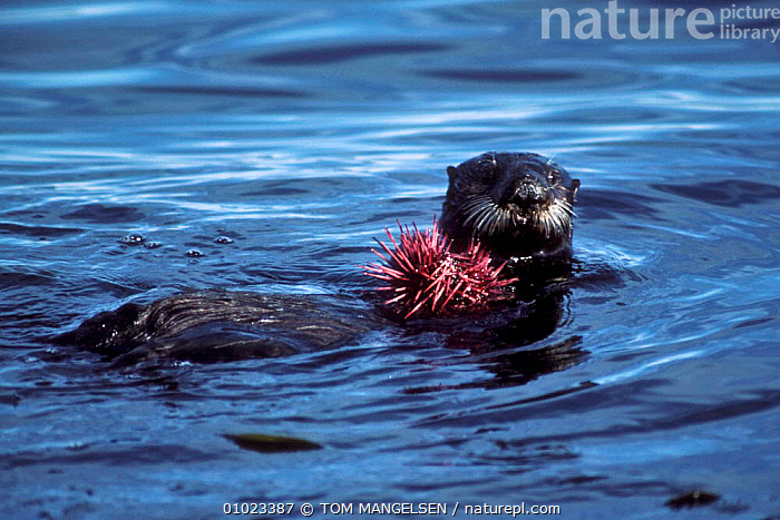 Sea otter holding sea urchin. (Enhydra lutris) Monterey Bay California, USA., FEEDING,CARNIVORES,USA,URCHIN,PACIFIC,OTTERS,MARINE,MAMMALS,NORTH AMERICA,MUSTELIDS, TOM MANGELSEN