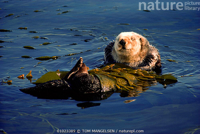 Sea otter floating, wrapped in kelp (Enhydra lutris) Monterey Bay, California, USA, BEHAVIOUR,CARNIVORE,CARNIVORES,COASTS,MAMMALS,MAMMALS,MARINE,NORTH AMERICA,OTTERS,PACIFIC,RESTING,SEAWEED,USA,PLANTS,MUSTELIDS, TOM MANGELSEN