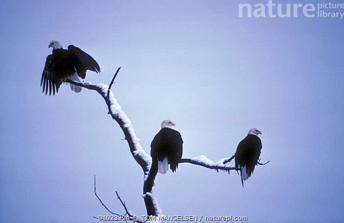 American bald eagles on perch (Haliaeetus leucocephalus) Alask, BIRDS,GROUPS,THREE,ALASKA,BIRDS OF PREY,HAINES,NORTH AMERICA,USA,EAGLES,RAPTOR, TOM MANGELSEN