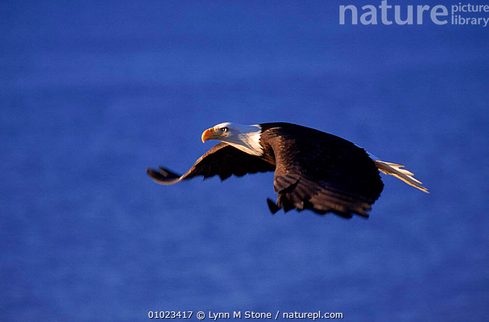 Bald eagle flying against blue sky, Alaska, LS*,,POWERFUL,BIRDS,FLYING,HORIZONTAL,USA,DRAMATIC,SKY,BLUE,ALASKA,PROFILE ,BIRDS OF PREY,NORTH AMERICA,CONCEPTS,EAGLES,RAPTOR, Lynn M Stone