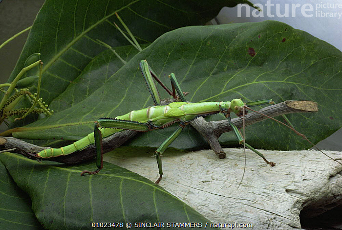 Stick insect (Phasmid) on leaf, Grenada, Carribean, ARTHROPODS,CAMOUFLAGE,CARIBBEAN,INSECTS,INVERTEBRATES,PHASMIDA,PHASMIDS,PORTRAITS,West Indies, SINCLAIR STAMMERS