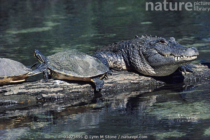 American alligator and Peninsula cooter turtle, S. Florida, USA., WATER,HORIZONTAL,MIXED SPECIES*,FLORIDA,FRESHWATER,,REPTILES,PENINSULA,USA,LS,COOTER,TURTLE ,RIVERS,NORTH AMERICA,CROCODYLIA, ALLIGATORS, Lynn M Stone