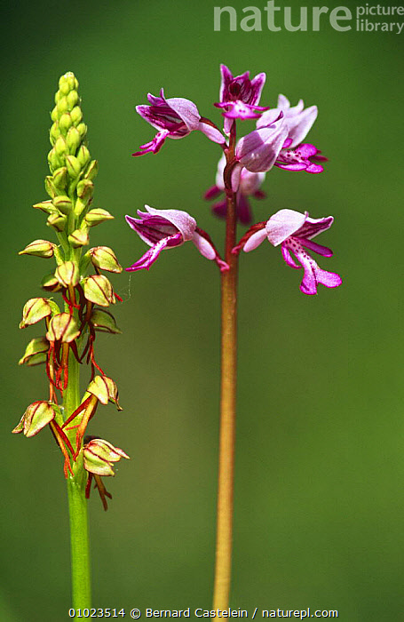 Man orchid (Orchis anthropophora) right, and Military orchid (Orchis militaris} Belgium, , BELGIUM, EUROPE, FLOWERS, MIXED-SPECIES, MONOCOTYLEDONS, ORCHIDACEAE, PLANTS, PORTRAITS, Bernard Castelein
