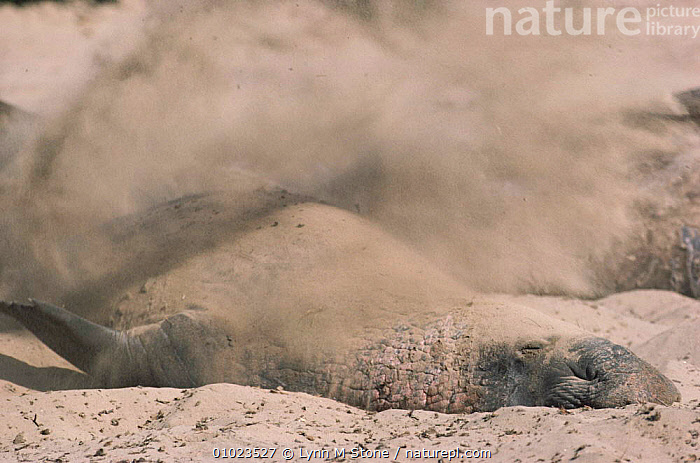Northern elephant seal (Mirounga angustirostris) throwing sand. CA, USA Ano Neuvo, California., MALES,NEUVO,BEACHES,ACTION,PINNIPED,MAMMALS,SAND,SEALS,THROWING,HORIZONTAL,LS,,CA,USA,CALIFORNIA,AMERICA,NORTH AMERICA, Lynn M Stone