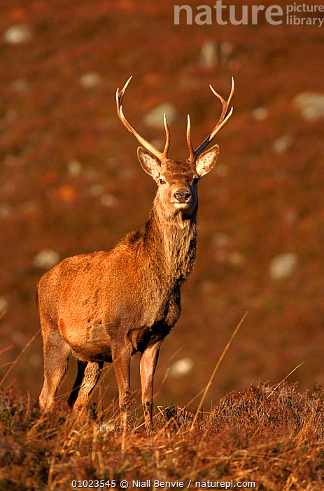 Red deer stag. Invernesshire, Scotland., NB,HIGHLANDS,PORTRAITS,MOORLAND,VERTICAL,MALES,SCOTLAND,ANTLERS,INVERNESSHIRE,STAG,UK,MAMMALS,EUROPE,UNITED KINGDOM,BRITISH, Niall Benvie