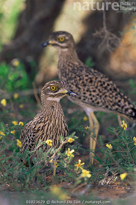 Nocturnal spotted stone curlews {Burhinus capensis} resting during day,Gemsbok NP, South Africa, Kalahari., BIRDS,NOCTURNAL,NP,PORTRAITS,SOUTHERN AFRICA,SPOTTED,STONE CURLEWS,SUMMER,VERTEBRATES,VERTICAL,National Park ,Kgalagadi,Transfrontier, Richard Du Toit