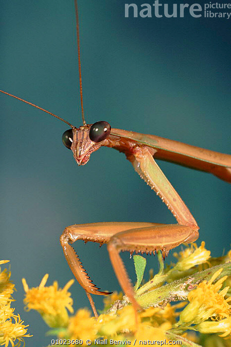 Chinese mantid close-up.  ,  PORTRAITS,LIMBS,NB,CLOSE UPS,INSECTS,FACES,VERTICAL,MOUTHS,HEADS,CAPTIVE,EYES,INVERTEBRATES,MANTODEA  ,  Niall Benvie