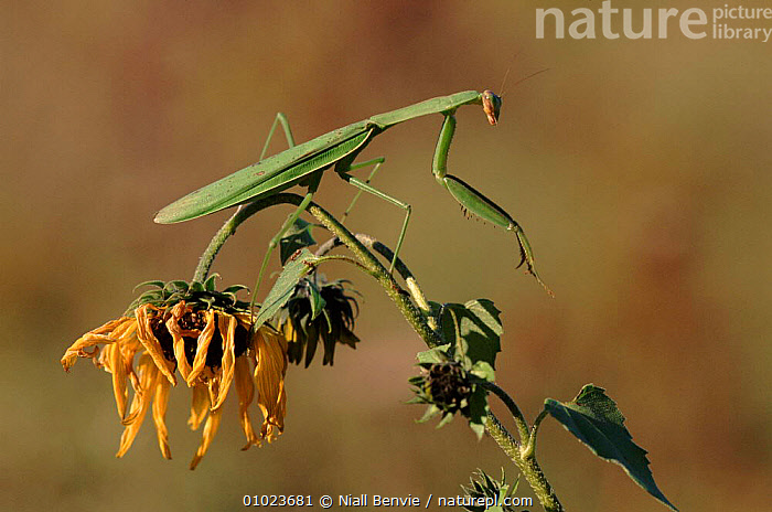 Chinese mantid on flower, Pennsylvania, USA., HORIZONTAL,INVERTEBRATES,CAPTIVE,NB,MANTIDS,INSECTS,USA,PENNSYLVANIA,NORTH AMERICA,MANTODEA, Niall Benvie