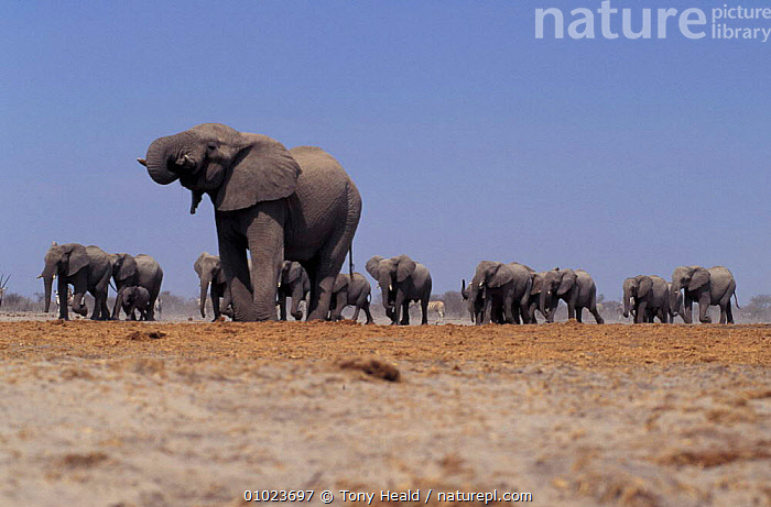 African elephant with Oryx at waterhole. Etosha NP, Namibia, DESERTS,DRINKING,ELEPHANTS,GROUPS,LANDSCAPES,MAMMALS,MIXED SPECIES,PROBOSCIDS,SOUTHERN AFRICA,WATER, Tony Heald