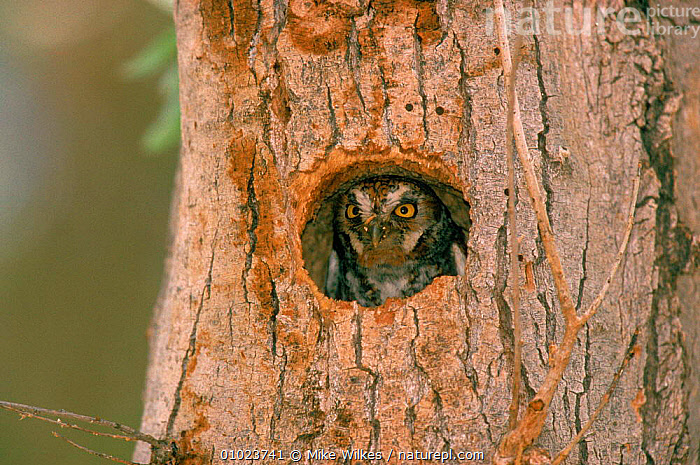 Elf owl (Micrathene whitneyi) looking out of nest hole Texas USA, USA,OWLS,TEXAS,,BIRDS,NEST,MW,LOOKING,HORIZONTAL,CUTE,INDIVIDUALITY,NESTS ,BIRDS OF PREY,NORTH AMERICA,CONCEPTS,RAPTOR, Mike Wilkes