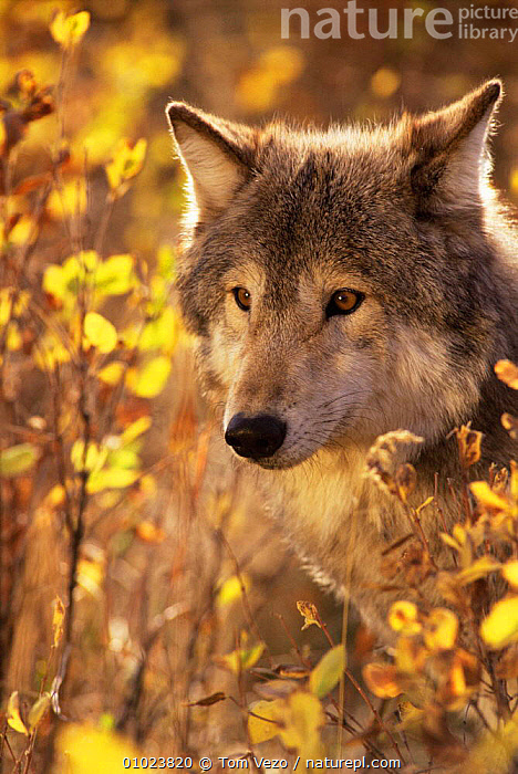 Head portrait of Grey wolf (Canis lupus) captive, CANIDS,CARNIVORES,FACES,HEADS,MAMMALS,north america,PORTRAITS,USA,VERTEBRATES,WOLVES,Dogs, Tom Vezo
