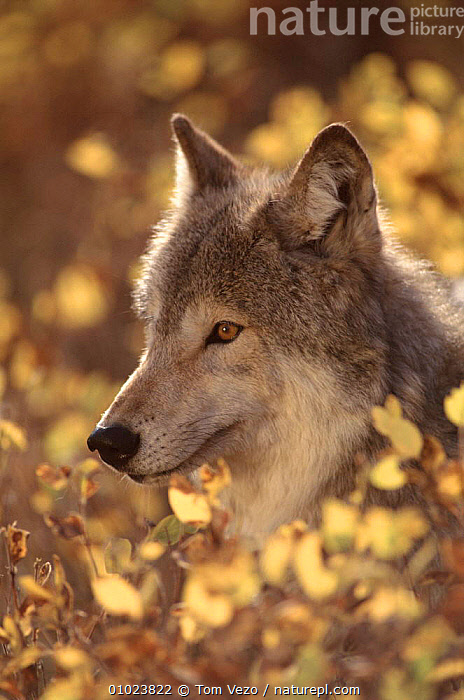Portrait of grey wolf, USA, AMONGST,C,CANIDS,DOGS,GRASS,MAMMALS,NORTH AMERICA,OUTSTANDING,PLANTS,PORTRAIT,PORTRAITS,TV,USA,WOLVES, Tom Vezo