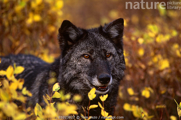 Grey wolf {Canis lupus} black colour, captive, USA, AUTUMN,CANIDS,CARNIVORES,FACES,HEADS,MAMMALS,NORTH AMERICA,PORTRAITS,USA,VERTEBRATES,WOLVES,Dogs, Tom Vezo