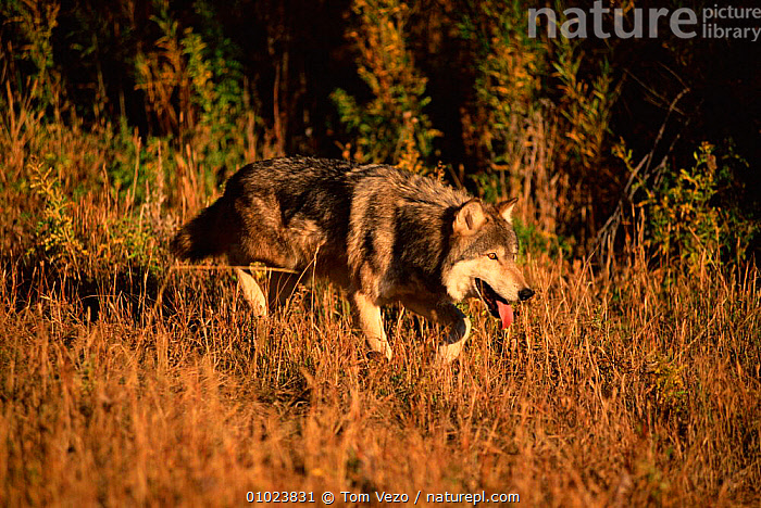 Grey wolf (Canis lupus) walking in grass, captive, GRASS,CANINE,CAPTIVE,HORIZONTAL,CARNIVORES,USA,MAMMALS,CANID,TV,WALKING,NORTH AMERICA,PLANTS,DOGS,CANIDS, Tom Vezo