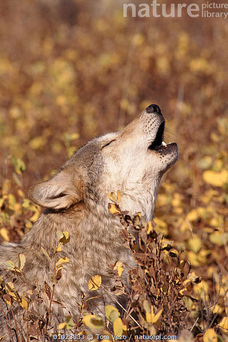 Portrait grey wolf howling, CAPTIVE,CARNIVORES,MAMMALS,USA,PORTRAITS,VERTICAL,VOCALISATION,TV,NORTH AMERICA,DOGS,CANIDS, Tom Vezo