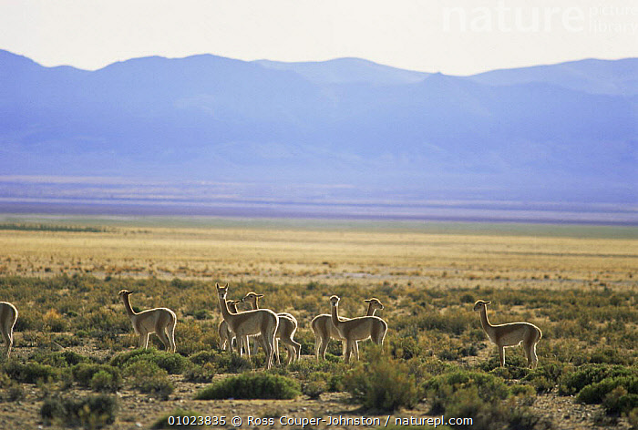 Group of Vicunas in Andes altiplano (Lama Vicugna) NW Argentina. Vulnerable habitat. Endangered, CAMELIDS, GROUPS, LANDSCAPES, LLAMAS, SOUTH-AMERICA, VERTEBRATES, ARTIODACTYLA, ENDANGERED, HABITAT, MAMMALS, NP, SUMMER,National Park, Ross Couper-Johnston