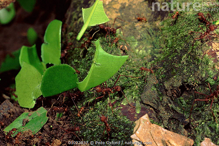 Leafcutter ants carrying leaves, Amazon, Ecuador., AMAZON,CARRYING,GROUPS,SOUTH AMERICA,SOCIAL BEHAVIOUR,COOPERATION,TROPICAL RAINFOREST,INSECTS,LEAVES,ECUADOR,HORIZONTAL,PO,INVERTEBRATES,HYMENOPTERA ,TEAMWORK, Pete Oxford