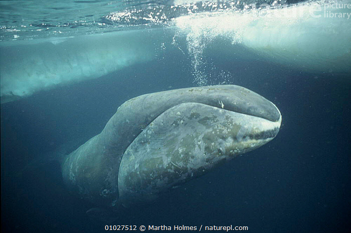 Bowhead whale just under ice,  Arctic  ,  ARCTIC,MAMMALS,OUTSTANDING,HORIZONTAL,CETACEANS,VULNERABLE,PORTRAITS,ICE,MARINE,BLUE,MH,UNDERWATER,Catalogue1  ,  Martha Holmes