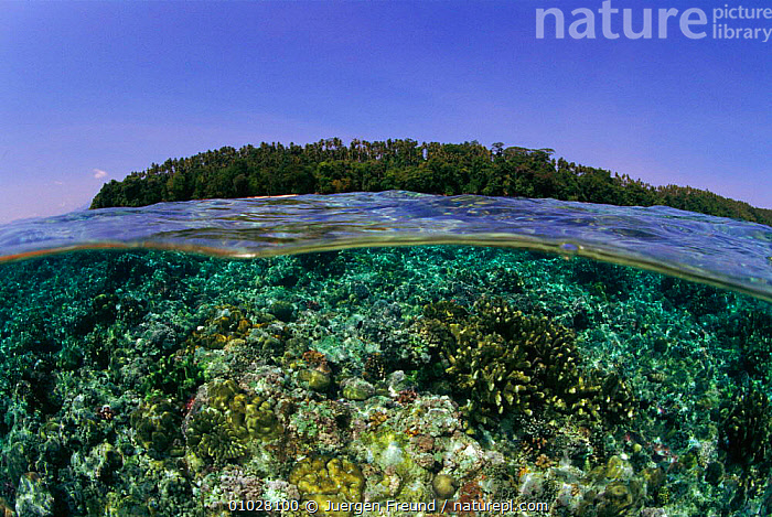 Coral reef. Split level. Philippines., TREES,UNDERWATER,,SPLIT,MARINE,MIXED SPECIES,CORAL REEFS,REEF,ANTHOZOANS,JFR,PHILIPPINES,PLANTS,COASTAL WATERS,COASTS,LEVEL,SOUTH EAST ASIA,ASIA,INVERTEBRATES, CNIDARIA,SOUTH-EAST-ASIA, Cnidaria, Cnidaria, Cnidaria, Cnidaria, Cnidaria,Catalogue1, Jurgen Freund