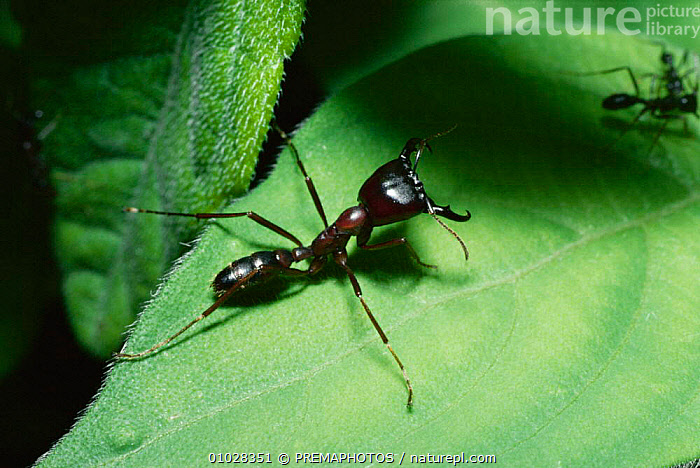 Driver ant soldier (Dorylus nigricans) Kenya, AFRICA,CLAWS,DEFENSIVE,EAST AFRICA,HORIZONTAL,HYMENOPTERA,INSECTS,INVERTEBRATE,INVERTEBRATES,KPM,PORTRAITS,BEHAVIOUR, PREMAPHOTOS