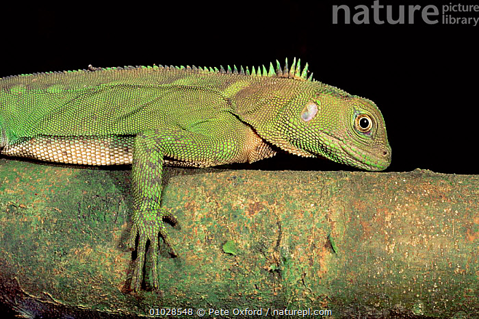 Iguandid Lizard, Ecuador (Enyalioides laticeps) South America, CAMOUFLAGE, GREEN, REPTILES, IGUANAS, LIZARDS, OUTSTANDING, tropical-rainforest, VERTEBRATES, Pete Oxford