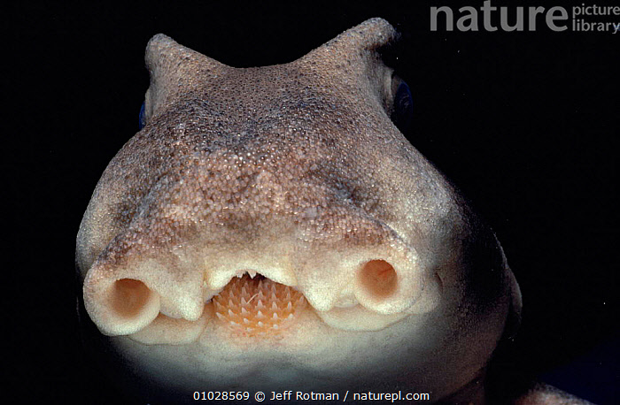 Close-up Port Jackson shark face (Heterodontus philippi) South Australia, AUSTRALIA, CHONDRICHTHYES, MARINE, PACIFIC, SHARKS, TEMPERATE, FACES, FISH, NIGHT, VERTEBRATES, Jeff Rotman