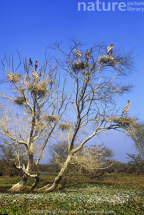 Painted Stork (Mycteria leucocephala)  nesting colony in tree with two Cormorants, Keoladeo / Bharatpur NP, Rajastan, India., BIRDS,FLOCKS,GROUPS,INDIA,INDIAN SUBCONTINENT,NP,RESERVE,STORKS,TREES,VERTEBRATES,VERTICAL,WADING BIRDS,Asia,National Park,PLANTS,,UNESCO World Heritage Site,, Pete Oxford