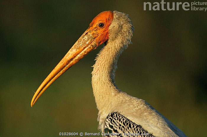 Painted Stork (Ibis leucocephalus) India, ASIA,BIRDS,INDIAN SUBCONTINENT,PROFILE,STORKS,WADING BIRDS, Bernard Castelein