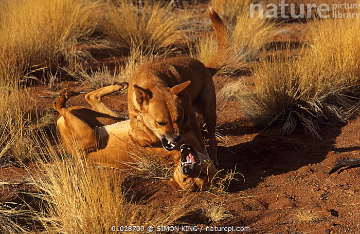 Dingo (Canis lupus dingo) females in dominance fight, one adult, one immature, Central Australia, vulnerable species, AUSTRALIA, BEHAVIOUR, CANIDS, CARNIVORES, DOGS, DOMINANCE, ENDANGERED, FEMALES, FIGHTING, JUVENILE, MAMMALS, VERTEBRATES,Aggression, SIMON KING