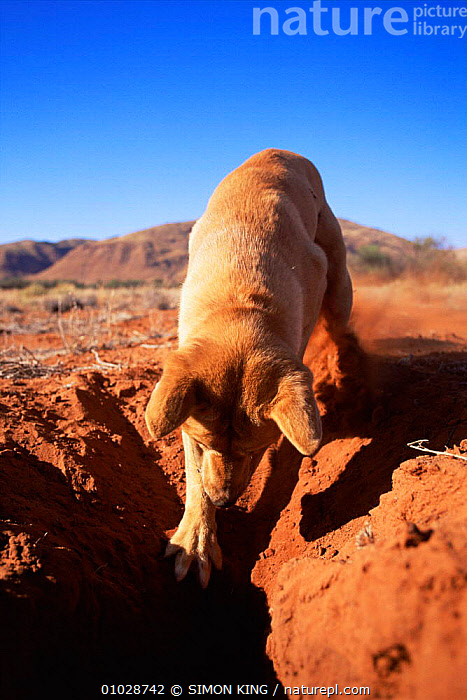 Nature Picture Library - Male Dingo (Canis dingo) digging