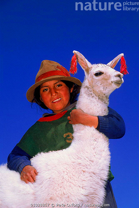 Indian with llama near Cusco, Peru., PEOPLE,INDIAN,LLAMA,CUSCO,DOMESTIC,MAMMALS,OUTSTANDING,PO,TRIBES,VERTICAL,TRADITIONAL,PORTRAIT,SOUTH-AMERICA, Pete Oxford