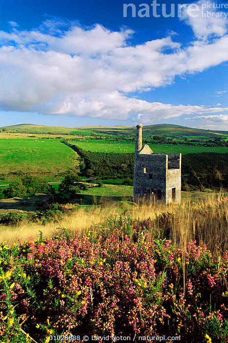 Old Tin mine on edge of moor, Dartmoor National Park, Devon.  Heather and Gorse in foreground.  ,  BUILDINGS,COUNTRYSIDE,ENGLAND,EUROPE,INDUSTRY,MOORLAND,SKY,UK,VERTICAL,United Kingdom,British  ,  David Noton