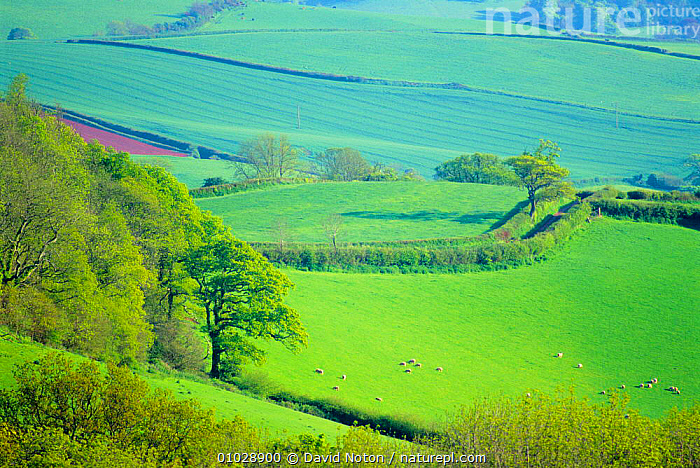 Rolling countryside near Totnes, Devon, England., LANDSCAPES,OUTSTANDING,FIELDS,FARMLAND,PEACEFUL,GREEN,HEDGEROWS,Concepts,ENGLAND,Europe, David Noton