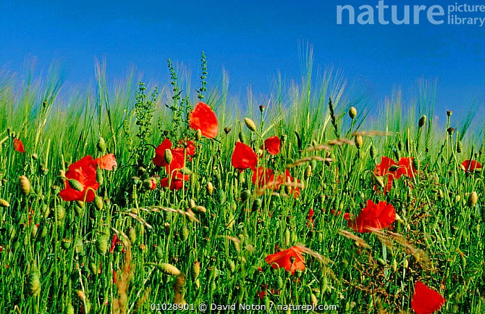 Poppies (Papaver rhoeas) in Shaftesbury, Dorset England., DORSET,PLANTS,RED,OUTSTANDING,FLOWERS,HORIZONTAL,COLOURFUL,SUMMER,DNO,ENGLAND,MEADOW,FARMLAND,SHAFTESBURY,CROPS,EUROPE, David Noton