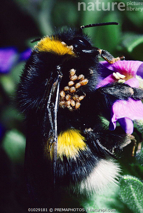White tailed bumble bee queen (Bombus lucorum) with parasites  - phoretic deutonymphs of mite (Parasitellus fucorum), CLOSE UPS,ENGLAND,EUROPE,HYMENOPTERA,INSECTS,INTERESTING,INVERTEBRATE,INVERTEBRATES,MITES,PARASITIC,PARASITISM,POLLINATION,RPM,VERTICAL, PREMAPHOTOS