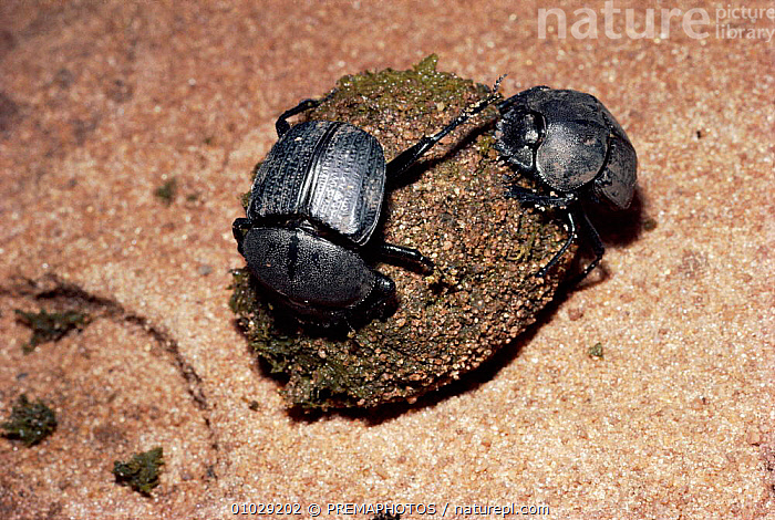 Scarab beetle (Scarabaeus aeratus) attempts to steal dung ball from another, Kenya, AFRICA,COLEOPTERA,COMPETITION,DOMINANCE,DUNG,EAST AFRICA,FAECES,FEEDING,HORIZONTAL,INSECTS,INVERTEBRATE,INVERTEBRATES,KPM,SAERATUS,SAVANNA,TO,GRASSLAND, PREMAPHOTOS