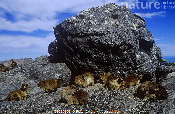Group of Rock hyrax (Procavia capensis) sunning on rocks, Cape Point NP, South Africa., GROOMING,GROUPS,HABITAT,HIGHLANDS,HYRAXES,MAMMALS,NP,SOUTHERN AFRICA,VERTEBRATES,National Park, Pete Oxford
