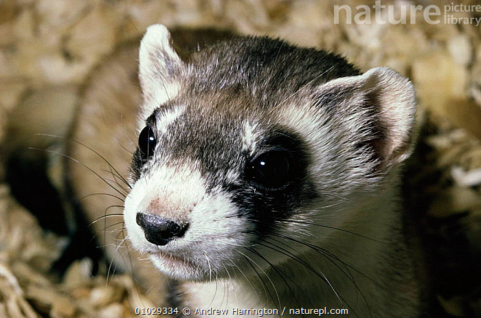 Black footed ferret portrait (Mustela nigripes). Montana, USA 1995., AH,CARNIVORES,ENDANGERED,FACES,MAMMALS,PORTRAIT,PRAIRIE,USA,NORTH AMERICA,GRASSLAND,MUSTELIDS, Andrew Harrington