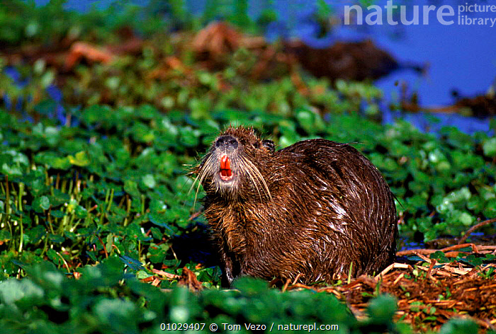 Coypu (Nutria) showing red teeth, Texas USA, CUTE,INDIVIDUALITY,HUMOROUS,USA,HORIZONTAL,TEXAS,WATER,TEETH,NUTRIA,MAMMALS,FACES,RED,RODENTS,TV,PORTRAITS,WETLANDS,NORTH AMERICA,CONCEPTS, Tom Vezo