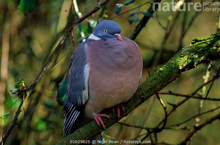 Wood pigeon with feathers puffed up, England, EUROPE,TREE,NBE,ENGLAND,HORIZONTAL,PORTRAITS,FEATHERS,UK,BIRDS,THERMOREGULATION,UNITED KINGDOM,BRITISH,PIGEONS , woodpigeon, United Kingdom, Nigel Bean