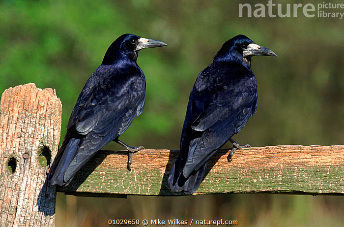 Two Rooks perched on fence post (Corvus frugilegus) England, BIRDS,BLACK,BRITISH,CORVIDAE,CORVIDS,ENGLAND,EUROPE,FARMLAND,FENCE,MW,PERCHED,PORTRAITS,POST,ROOKS,TWO,UK,UNITED KINGDOM, Mike Wilkes