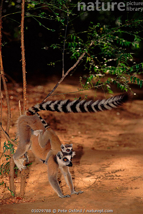 Ringtail lemur carrying baby and scent marking territory (Lemur catta) Madagascar, BABY,BEHAVIOUR,FAMILIES,MADAGASCAR,MAMMALS,MOTHER,PRIMATES,RINGTAILED,TAILED,TERRITORIAL,TROPICAL DRY FOREST,BABY,BEHAVIOUR,FAMILIES,MADAGASCAR,MAMMALS,MOTHER,PRIMATES,RINGTAILED,TAILED,TERRITORIAL,TROPICAL DRY FOREST, Pete Oxford