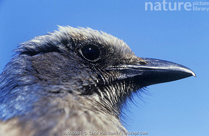 Scrub jay (Aphelocoma coerulescens) head portrait. Florida, USA, BIRDS,FACES,HEADS,JAYS,PORTRAITS,PROFILE,USA,VERTEBRATES,North America,Corvids, Chris Packham