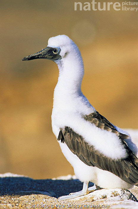 Blue footed booby chick {Sula nebouxii} Cristobal Island, Galapagos., BABIES,BIRDS,BLUE,BOOBIES,GALAPAGOS,HEADS,PROFILE,SEABIRDS,SOUTH AMERICA,VERTEBRATES,VERTICAL, Pete Oxford