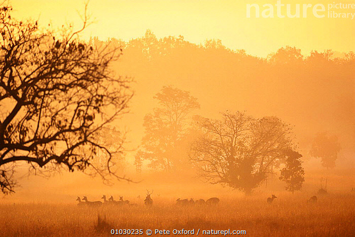 Chital / Spotted  deer (Axis axis) at dawn, Kanha NP, Madhya Pradesh, India, ARTIODACTYLA,ATMOSPHERIC,CERVIDS,DAWN,DEER,GRASSLAND,GROUPS,Herds,INDIAN SUBCONTINENT,LANDSCAPES,MAMMALS,Morning,NP,SPOTTED,SUNRISE,VERTEBRATES,Asia,National Park, Pete Oxford