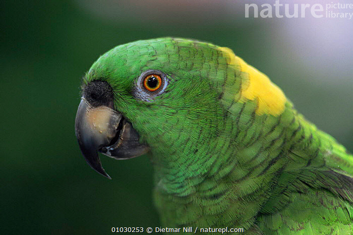 Yellow naped amazon parrot {Amazona auropalliata} head profile, Costa Rica, Santa Rosa., BEAK,BEAKS,BIRDS,CENTRAL AMERICA,FACES,HEADS,PARROTS,VERTEBRATES,YELLOW, Dietmar Nill