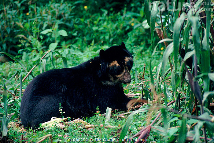 Spectacled bear (Tremarctos ornatus) eating maize. Andes, CARNIVORES,ANDES,MAMMALS,SOUTH AMERICA,PORTRAITS,FEEDING,HORIZONTAL, JIM CLARE