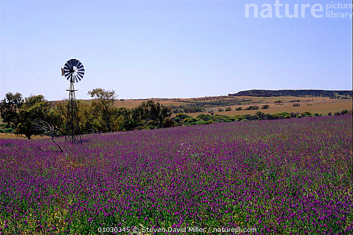 Field of purple Paterson's curse noxious weed. W Australia Spring, SPRING,FIELD,FLOWERS,AUSTRALIA,SDM,NOXIOUS,CURSE,PATERSON,WEED,PURPLE, Steven David Miller