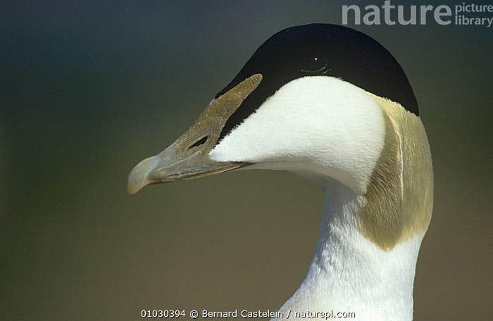 Eider duck (Somateria mollissima) male portrait, Farne Island, Northumberland, UK, BIRDS,BLACK AND WHITE,DUCKS,ENGLAND,MALES,PORTRAITS,UK,VERTEBRATES,WATERFOWL,Europe,United Kingdom, Bernard Castelein